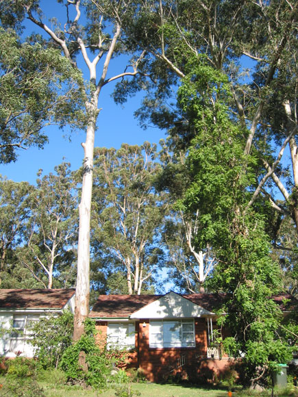 normanhurst-trees-tall-over-house-n.jpg